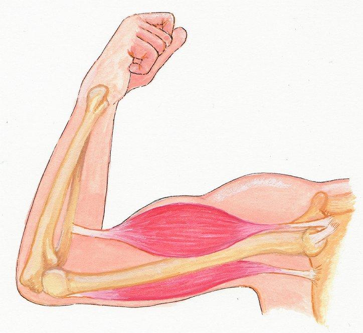 Atemberaubend Muskeln Auf Den Arm Bilder - Menschliche Anatomie ...