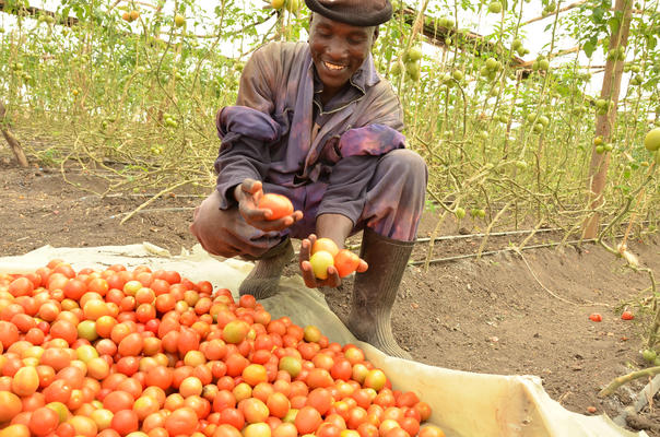 Greenhouse farming in Kitengela, Kenya