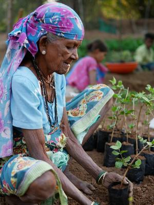 Eine ältere indische Dame hockt auf der Erde und pflanzt Setzlinge.