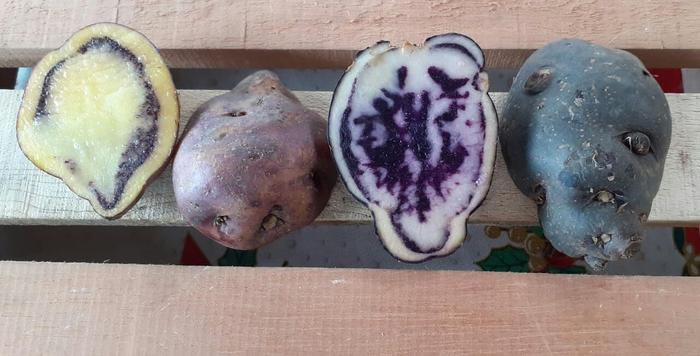 Sortenvielfalt bei Kartoffeln aus Kolumbien