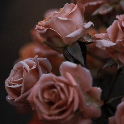 Eine Nahaufnahme von ein paar mit Wassertropfen benetzten Rosenblüten in altrosa.