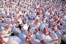 220px-Turkeys