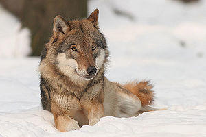 300px-canis_lupus