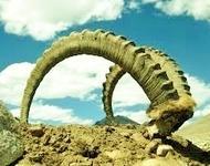 horns .