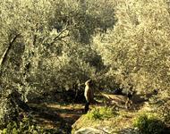Ölbäume von Eutopia