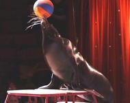 Seehund im Zirkus
