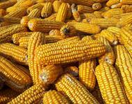 Maiskolben nach der Ernte