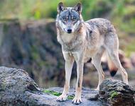 christoph bosch :: Wolf