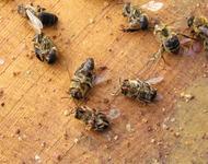 Tote Bienen mit Varroa Milben