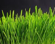 Gras, das als Symbolbild für den Kunstrasenhersteller Astroturf als Namensgeber des Phänomens Astroturfing, dienen soll