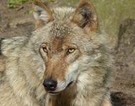 Förderkulisse Wolf Schluchsee